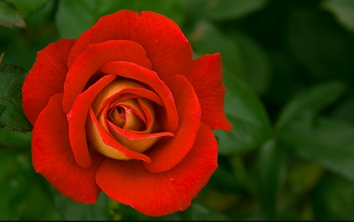 rose01_jpg__520×325_